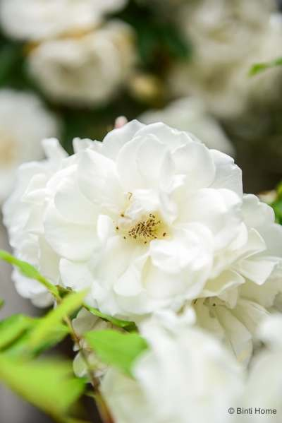 White roses from my garden close up ©BintiHome