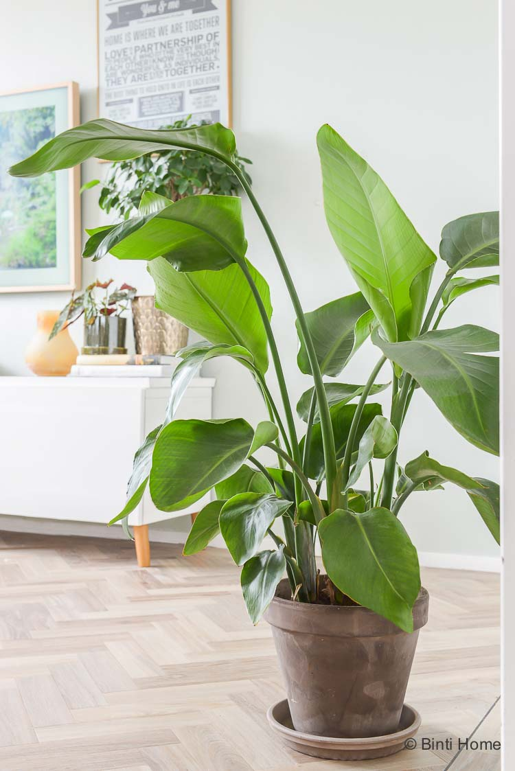Planten in huis Strelitzia Nicolai Green Lifestyle Store ©BintiHome