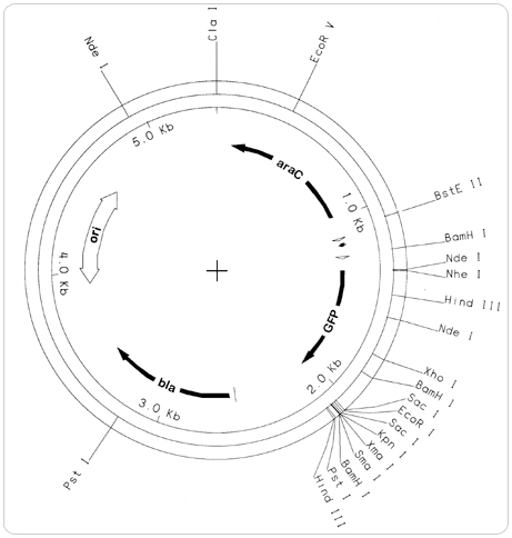 Gfp Plasmid Map