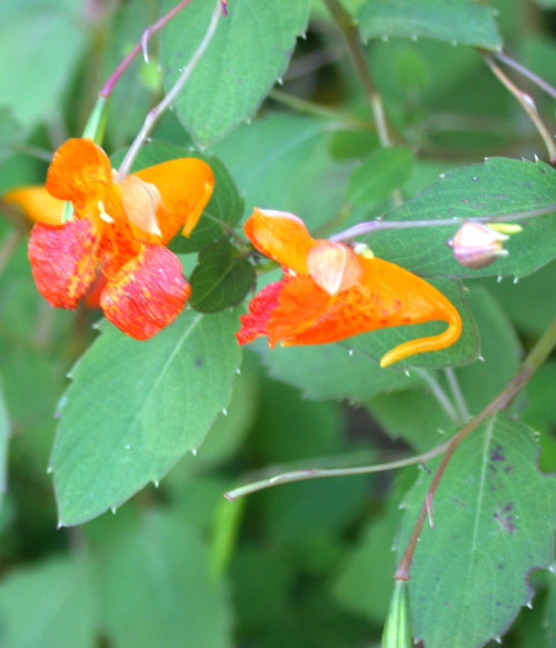 Image result for jewel weed