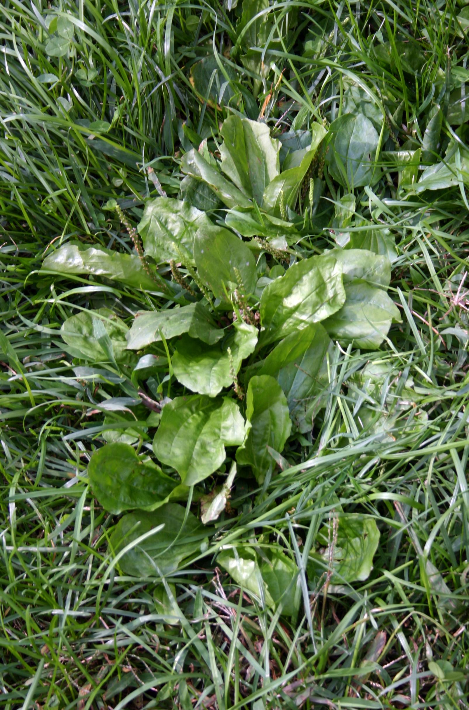 Medicinal Plants-Common Plantain