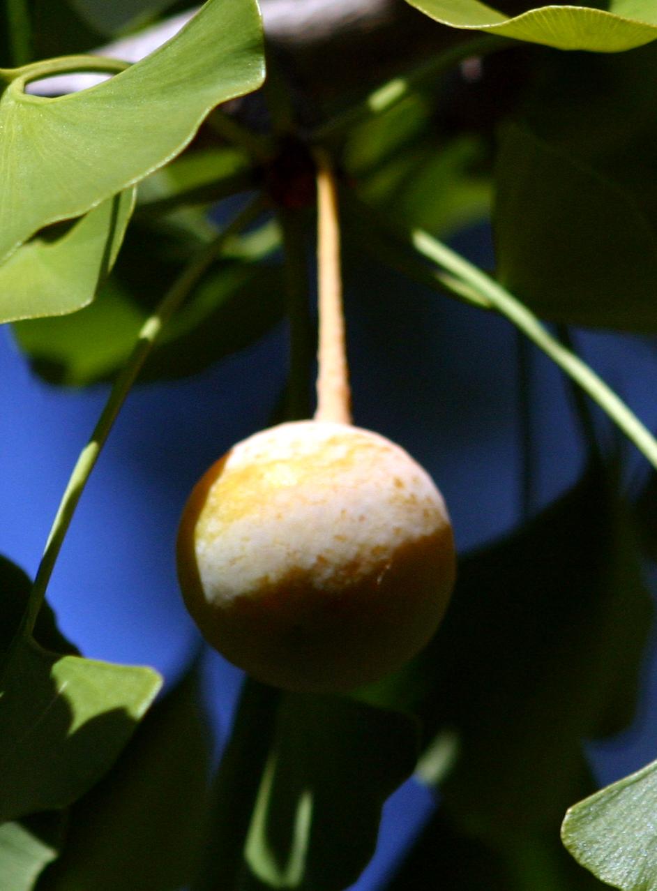 Medicinal PlantsGinkgo