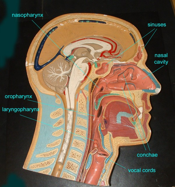 Anatomy Of The Lateral Wall Nasal Cavity Imgurl