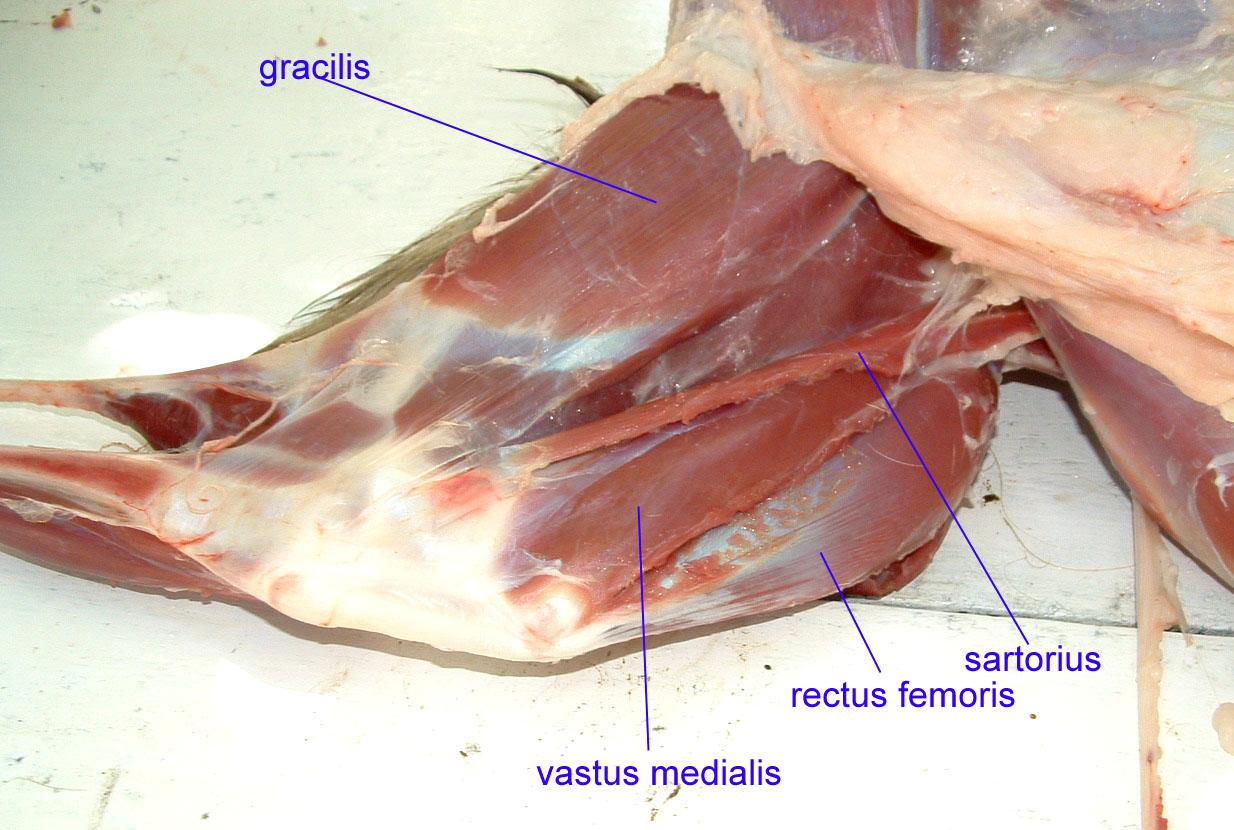 chicken muscle diagram nest wiring 2 wire untitled document bio sunyorange edu