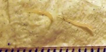 parasita-astheneies-karkinos