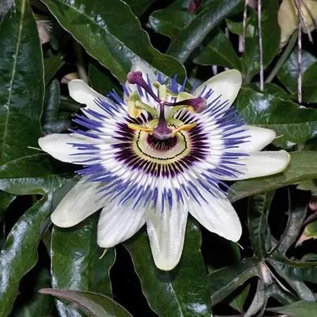 passifloracaerulea