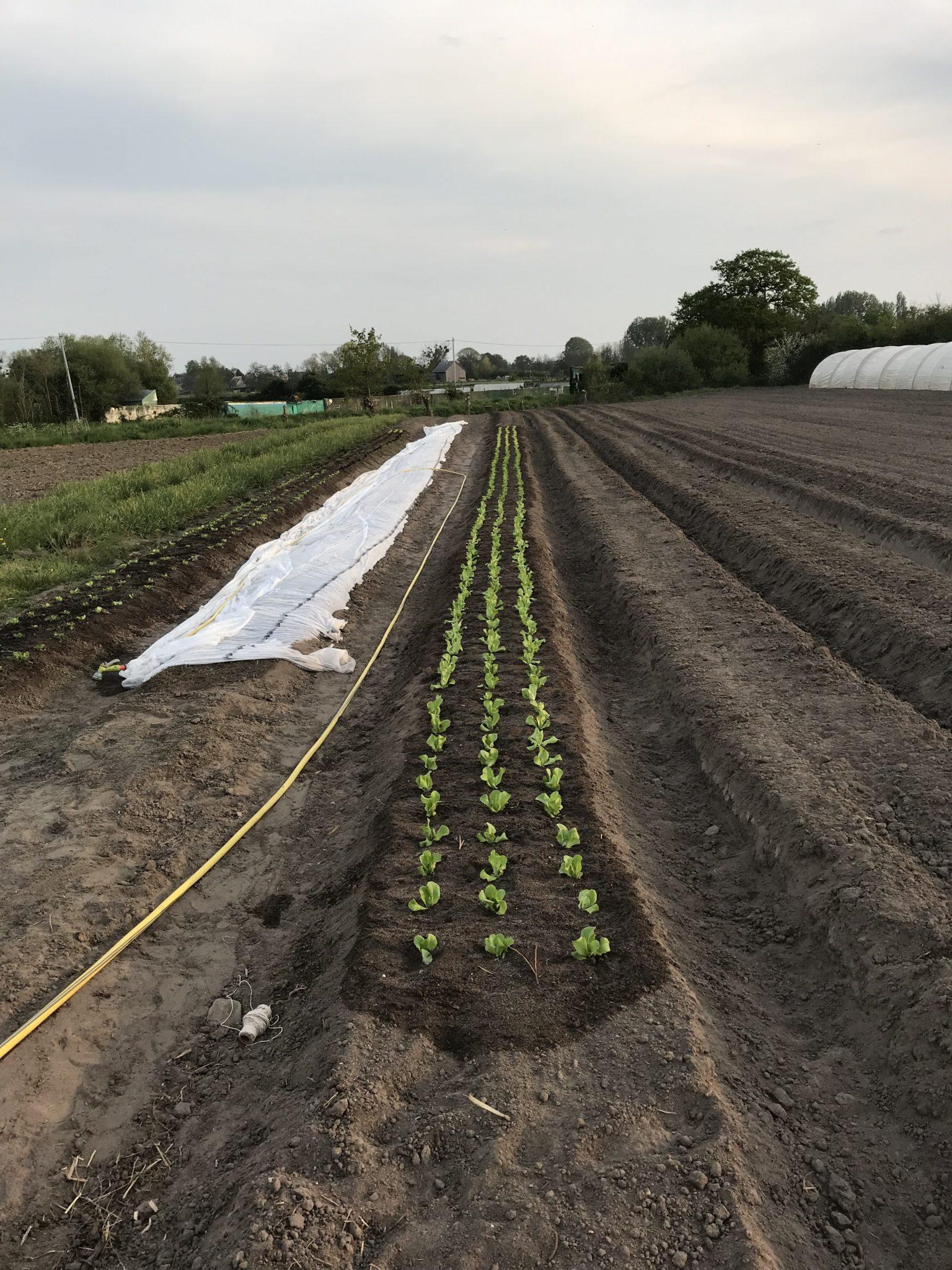 Deuxième plantation de salades: laitues et batavia