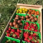 Premières Fraises et Tomates 😊