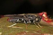Demanda de proteína de mosca de soldado negro