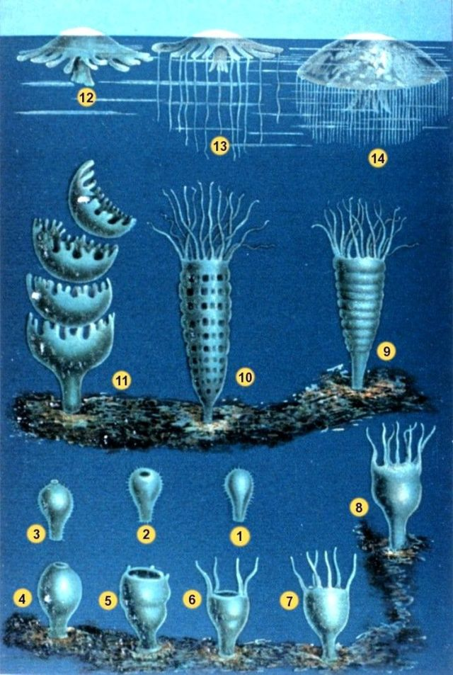 Animales asombrosos I: La medusa huevo frito 2