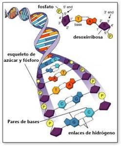 ADN basura