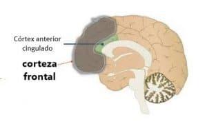 La corteza frontal lleva parte de la ciencia tras el amor
