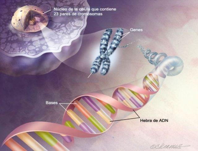 Los telómeros y el envejecimiento 2