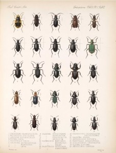 Plate from old book about beetles with hand drawn illustrations