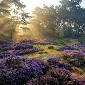 Photo of heathland with sun shining through trees