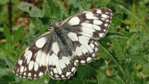 marbled white butterfly Melanargia galathea golf course england