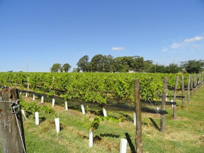 Según expertos, Tandil es la vitivinicultura europea que va a romper el paradigma argentino