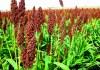 Planta de etanol de sorgo empieza a operar en julio