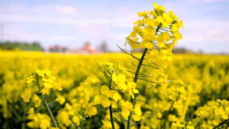 Los aceites omega 3 provenientes de canola transgénica llegan al mercado de la mano de Nuseed