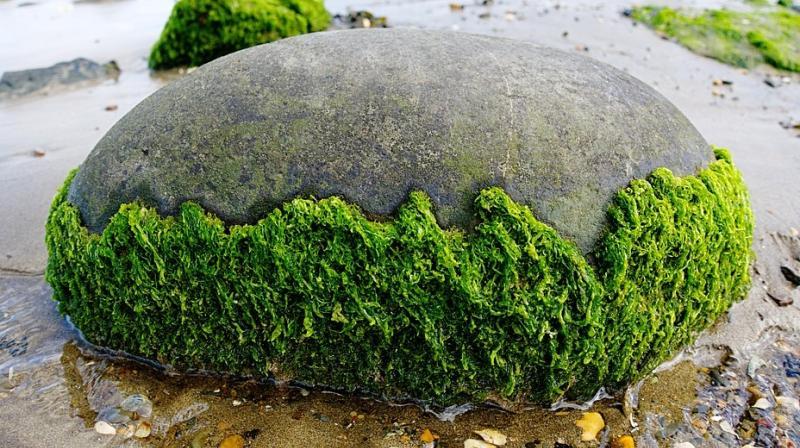 Crean un banco de datos online con más de 100 mapas genómicos de algas