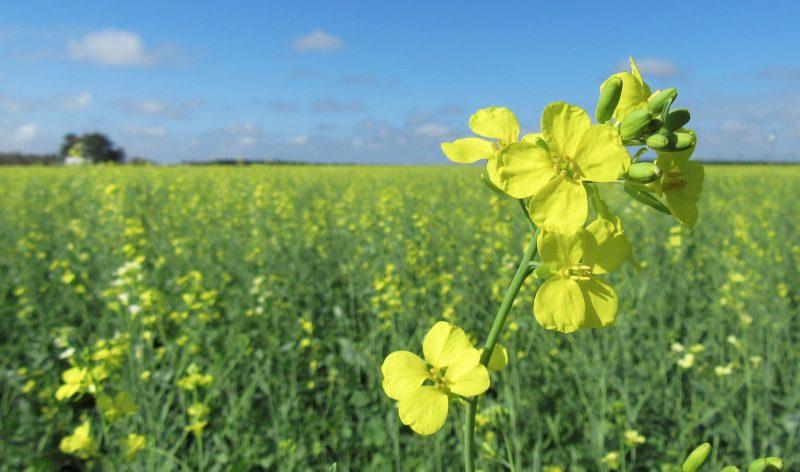 Un nuevo cultivo, nuevas oportunidades para la sustentabilidad
