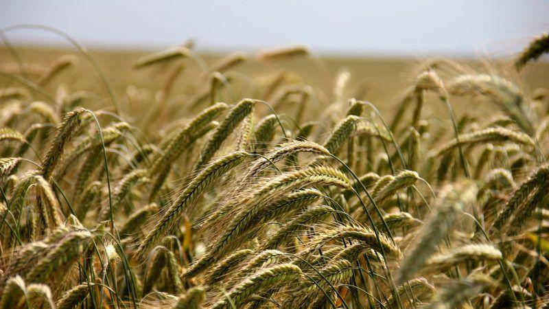 Investigadores desarrollan variedad de trigo alta en fructanos: más nutritivo y resistente