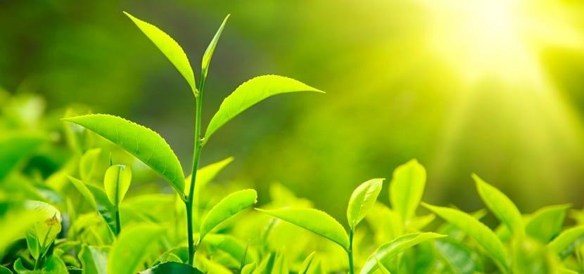 Fotosíntesis más eficiente: siguiendo la evolución de una enzima