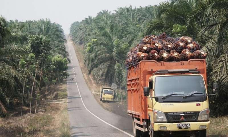 Aceite de palma: menos fertilizante y sin herbicidas, pero ¿con el mismo rendimiento?