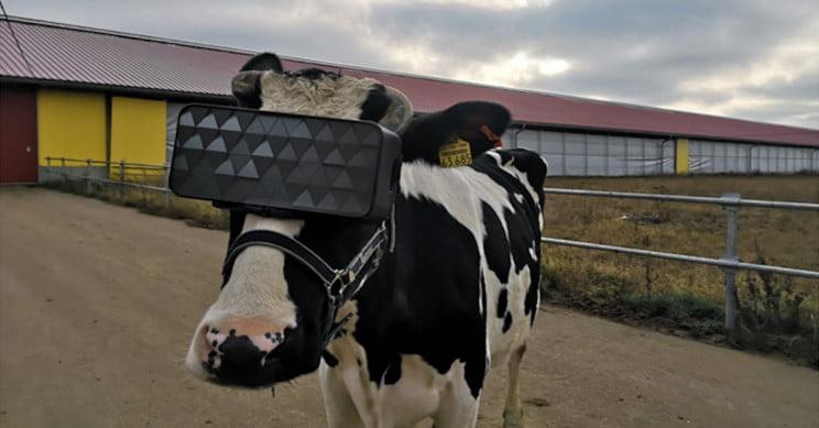 En un tambo en Rusia le ponen anteojos de Realidad Virtual a las vacas para que produzcan más leche