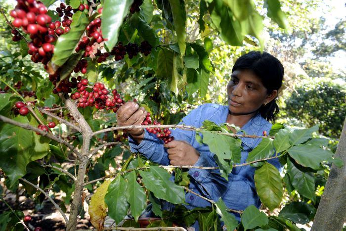 Caficultores centroamericanos resaltan beneficios de programa financiado por la UE e implementado por el IICA