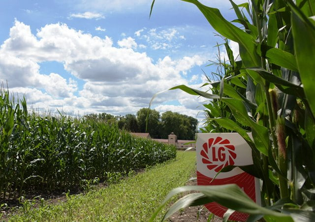 El maíz también apunta al norte