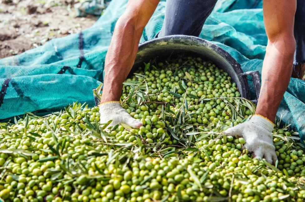 Atresbio, el proyecto español que busca crear bioproductos derivados de residuos del olivar
