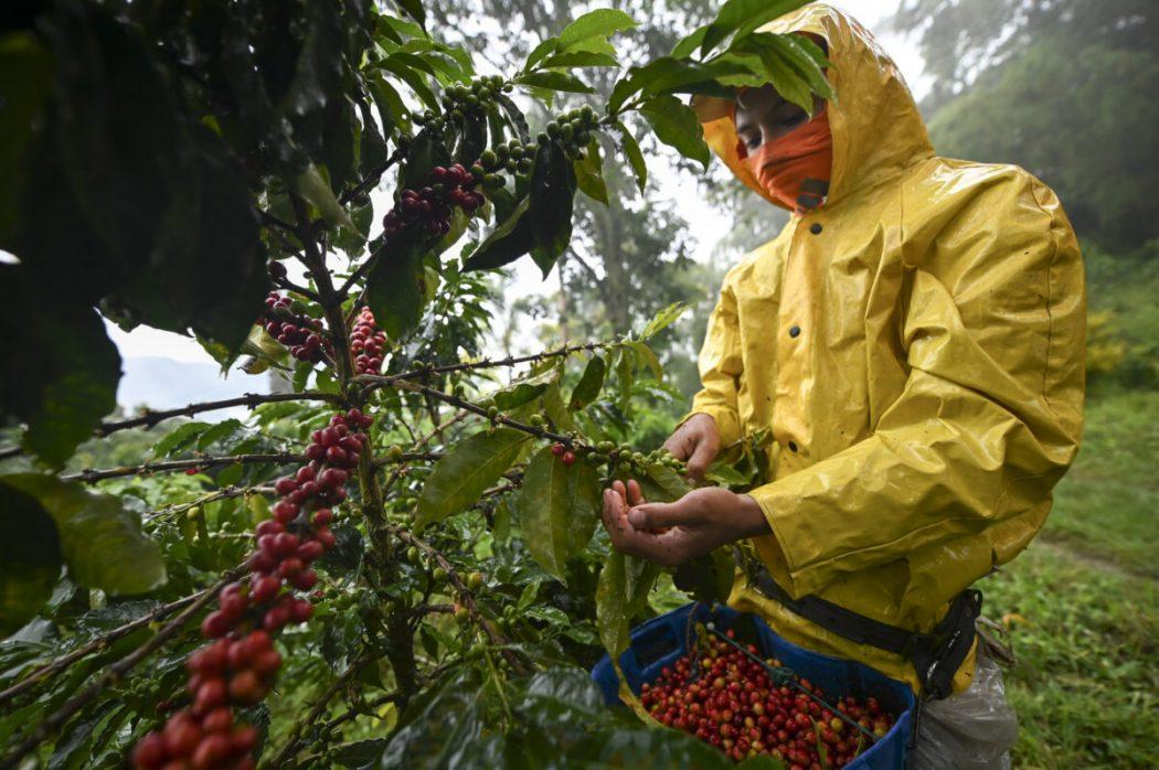 Productores de café se benefician con el aislamiento