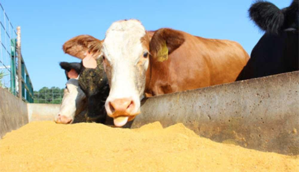 El cierre de las destilerías de etanol complica a los productores ganaderos