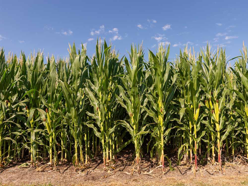 Bayer y Nitragin, dos gigantes unidas detrás de la última tecnología en maíz