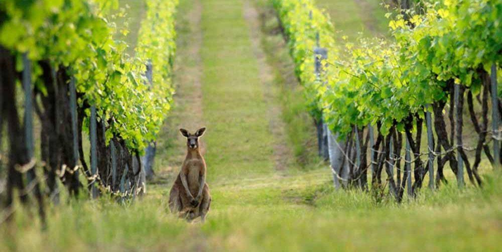 Con fuerte énfasis en la sostenibilidad, Australia lanzó su 'Estrategia 2050' para convertirse en la máxima potencia en vitivinicultura