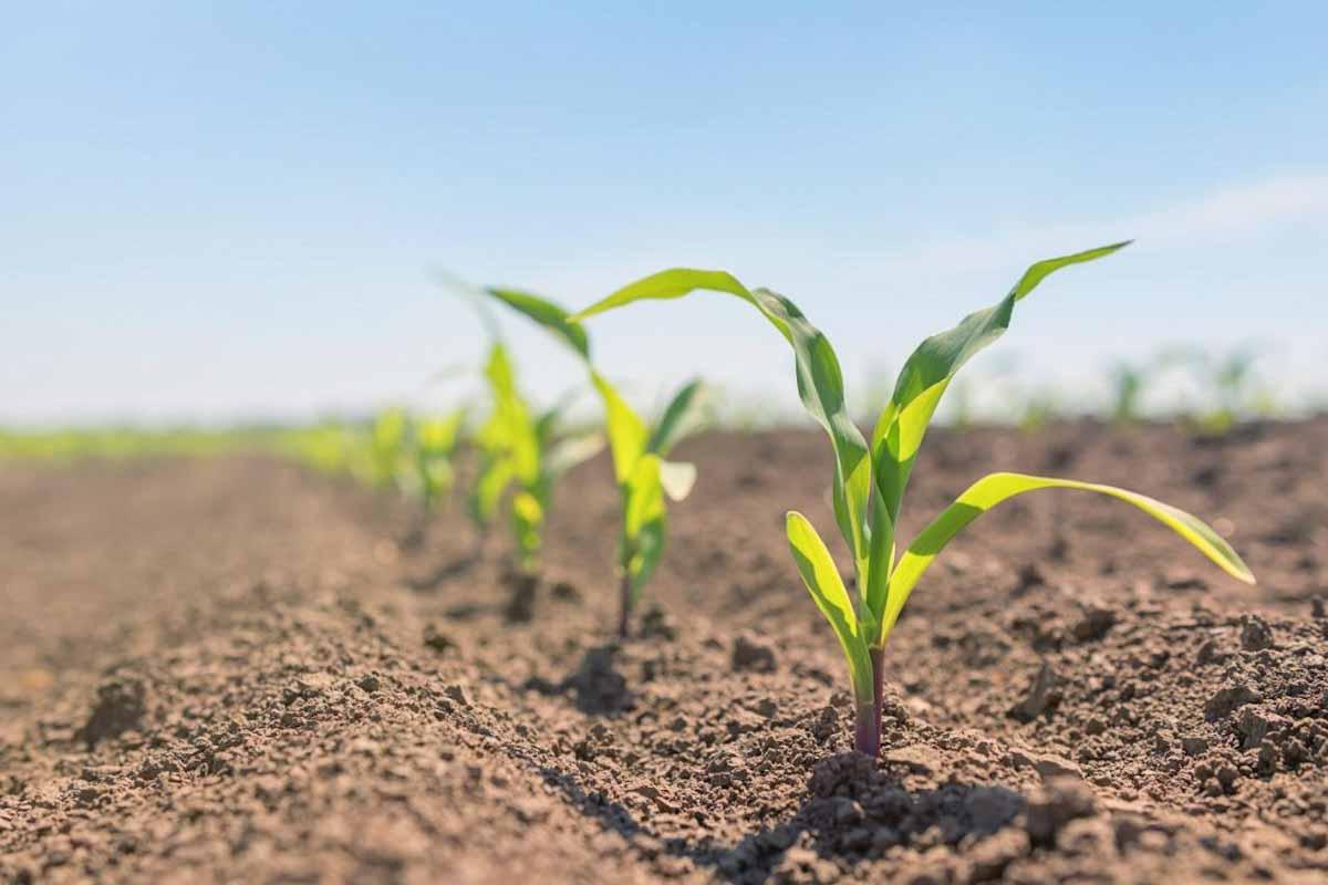 Comienza una nueva campaña de maíz, un cultivo clave para el agro y la Argentina