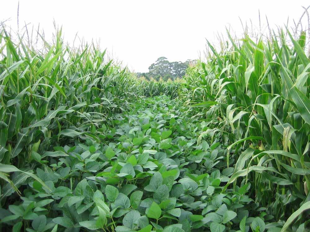 Cultivos intercalados, una opción para reducir el costo de alimentación del ganado
