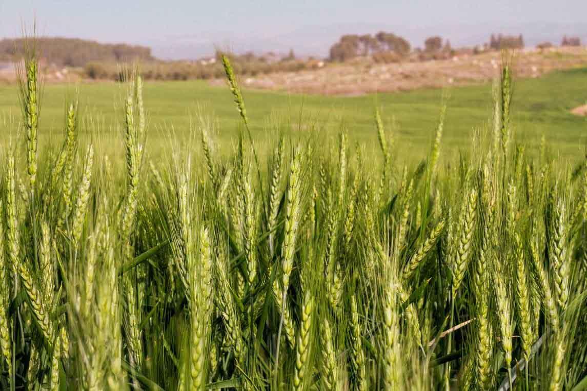 EEUU flexibiliza aún más la aprobación de cultivos biotecnológicos