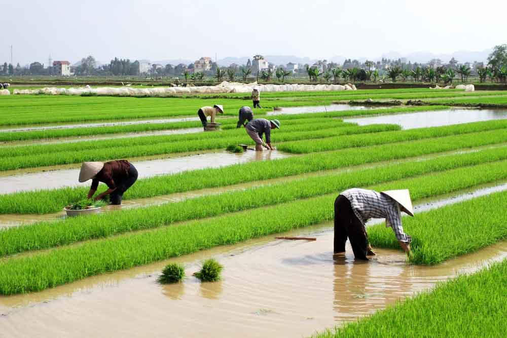 China exige a los agricultores que siembren más cereales en lugar de otros cultivos más rentables