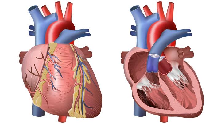 heart diagram inside energy level for nitrogen and circulation outside bioed online