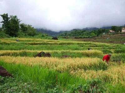 rice-biomass-philippines