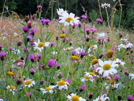 bees-wildflowers