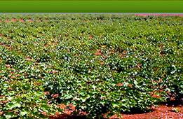 https://i0.wp.com/www.bioenergyplantations.com/images/main_farm_farm3.jpg