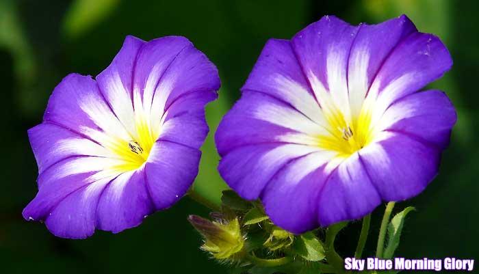tall purple flowers small