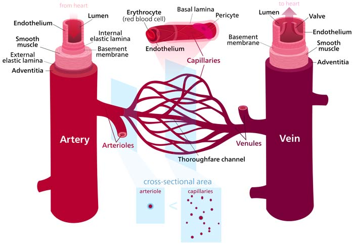chromosome structure diagram carrier split ac wiring 17 differences between arteries and veins | vs