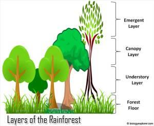 Layers of the Rainforest | Rainforest Animals | Biology