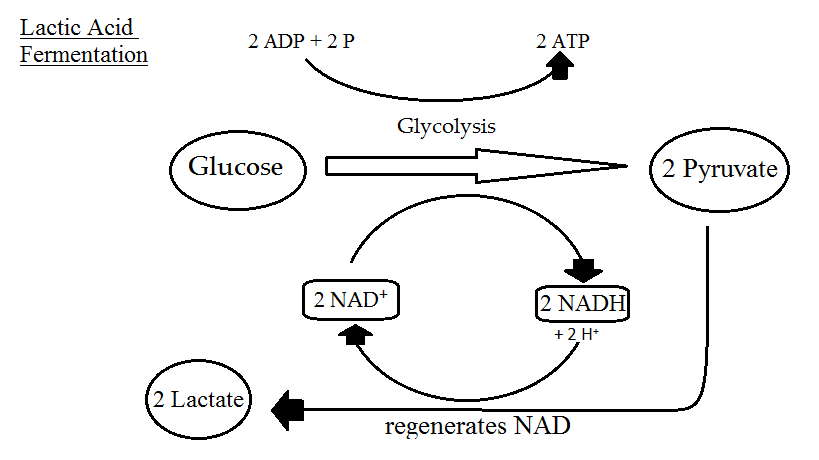 Cellular Respiration Equation, Types, Stages, Products