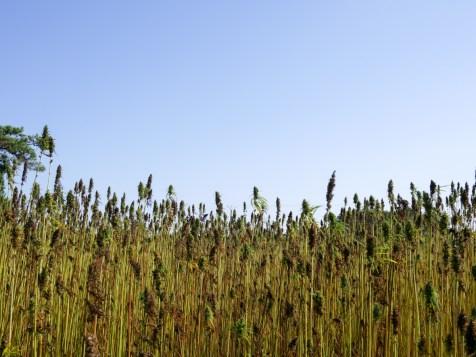 recolte-chanvre-2016-biofib