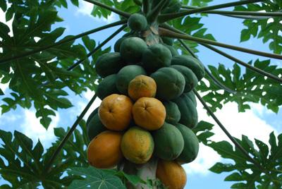 papaya-tree